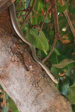 Boomslang - Dispholidus typus