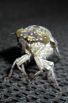 Cicada close-up with its large eyes set wide apart