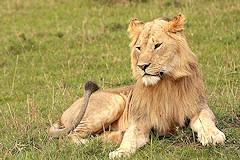 Young Male Lion - Panthera leo