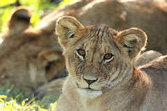 Young Lion - Panthera leo