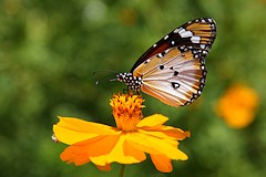 Plain Tiger or African Monarch Butterfly