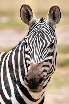 Plains Zebra, Burchells Zebra, Common Zebra - Equus quagga