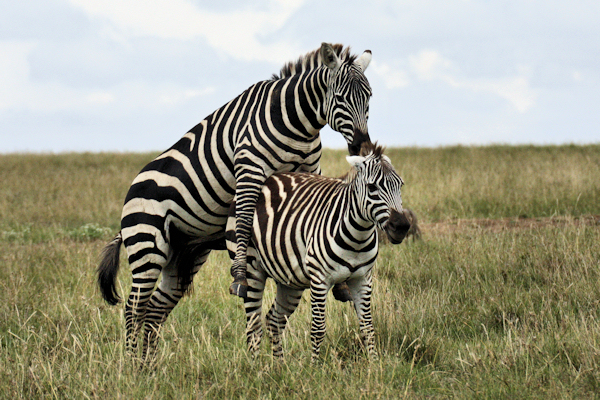 an analysis of the plains zebra animal species of africa Zebra stripes may solve more than one problem for its animal hosts  one  african account says the animal donned a tight black suit that  the plains zebra,  the most widespread and common zebra species, at 16  rainfall and analyzed  which factors best accounted for stripe number, thickness and so on.