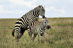 Mating Plains Zebras, Burchells Zebra, Common Zebra - Equus quagga