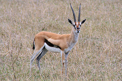 Thomsons Gazelle - Eudorcas thomsonii