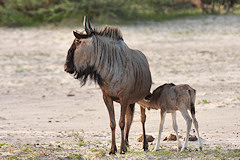 Mother and youngster, Common Wildebeest - Connochaetes taurinus