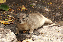 Yellow-Spotted Rock (or Bush) Hyrax - Heterohyrax brucei