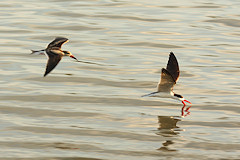 African Skimmer - Rynchops flavirostris, feeding by skimming above the water with the lower mandible dredging for fish
