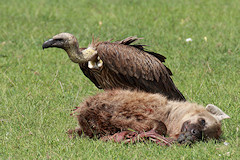 African White-backed Vulture - Gyps africanus, with a dead hyena