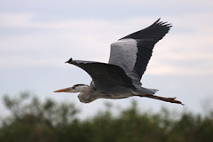 Grey Heron - Ardea cinerea in flight