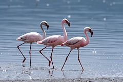 Lesser Flamingo - Phoenicopterus minor