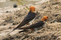 Striped Swallows - Hirundo abyssinica