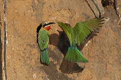 White-fronted Bee-eaters - Merops bullockoides