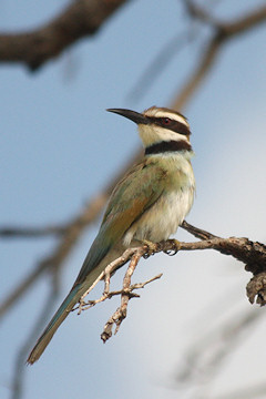 White-throated Bee-eater - Merops albicollis