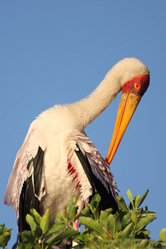 Yellow-billed Stork - Mycteria ibis